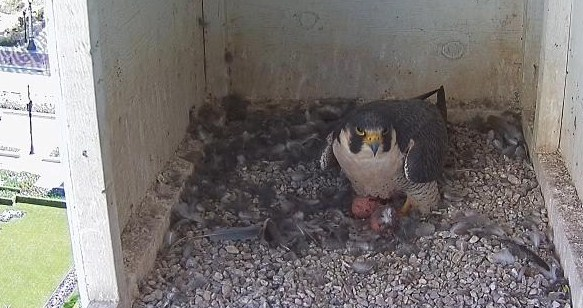 falcon and two eggs