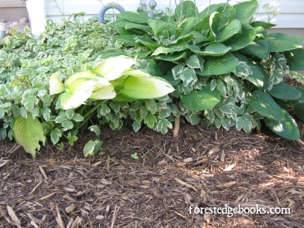 hostas in mulch